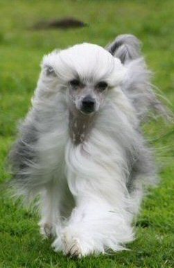 chinese crested powderpuff dog running in the wind show circle prance