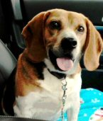 happy beagle who just got a new home! Please choose rescue or adoption if you're in the market for a new beagle.