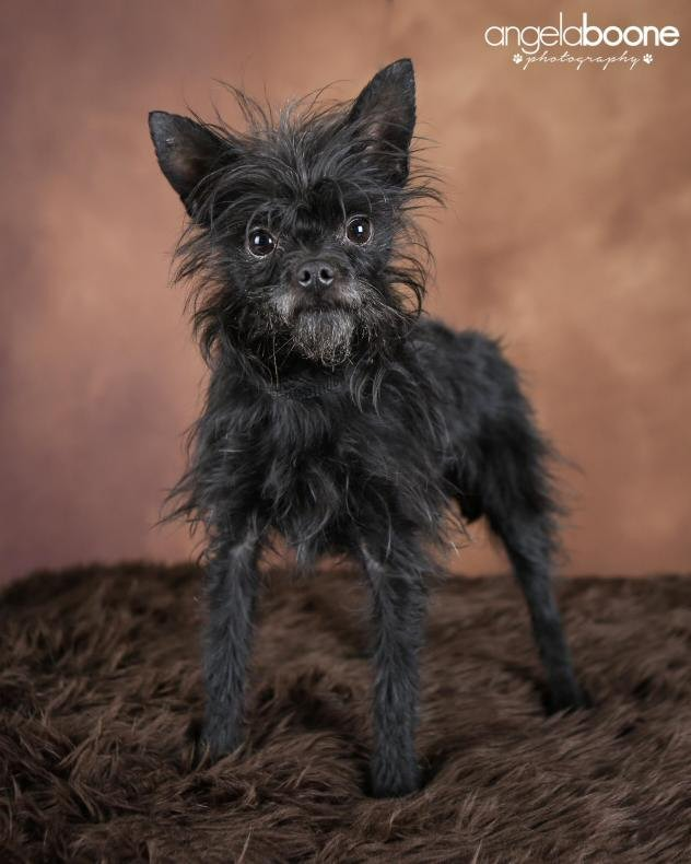 Affenhuahua, a cross between Chihuahua and Affenpinscher. Think rescued dogs are damaged goods? Think you have to spend a fortune for a so-called designer breed? You'd be wrong on both accounts.