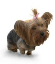 Yorkie, Yorkshire Terrier, teacup puppies, dog looking