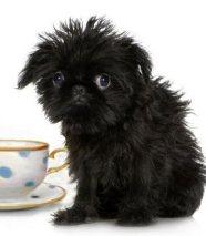 teacup puppy affenpinscher brussels griffon