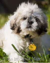 shih tzu, puppy, grass, photo by: Todd Morris