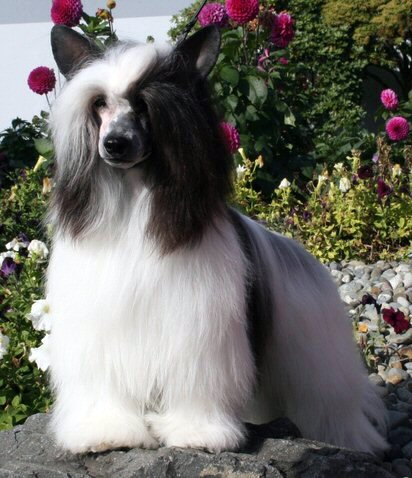 powderpuff chinese crested with black and white coat