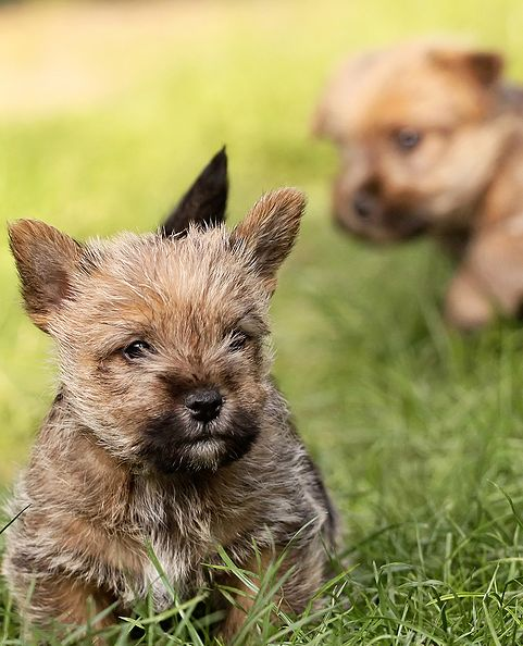 norwich Terrier puppies