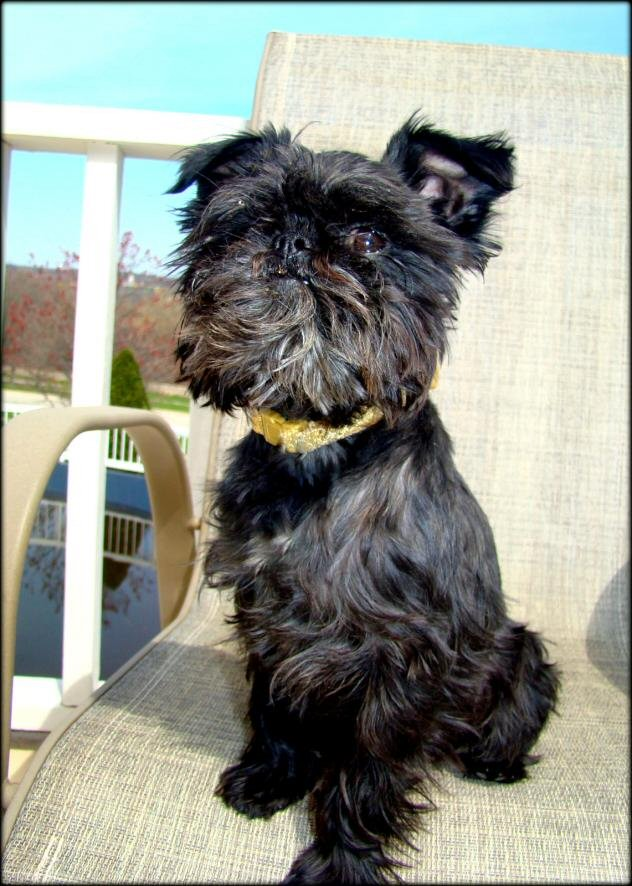 This is one fine example and a great photo of a recently adopted (YAY!!!!) Affenpinscher!