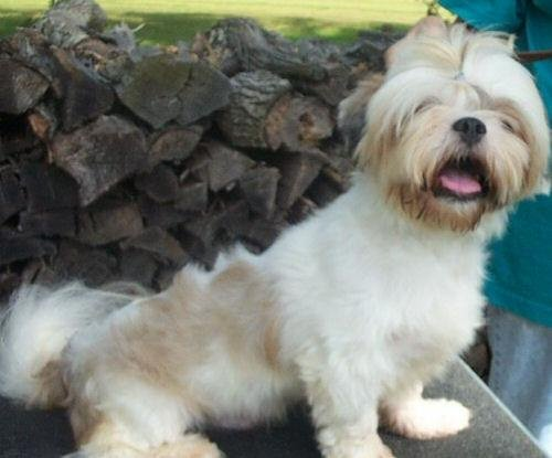 lhasa apso, adoptable, puppy