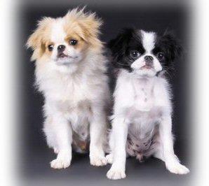 japanese chin, puppy, dog