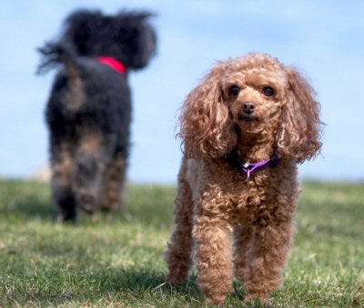 Red Toy Poodle Full Grown Toy Poodles