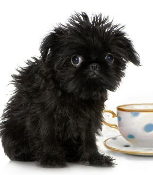 A List Of Teacup Puppies And Teacup Dogs And The Breeders You Should
