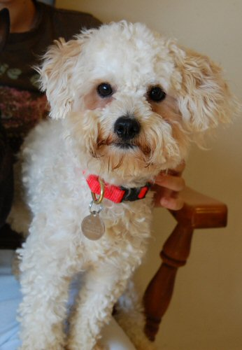 bichon, rescue, adoptable