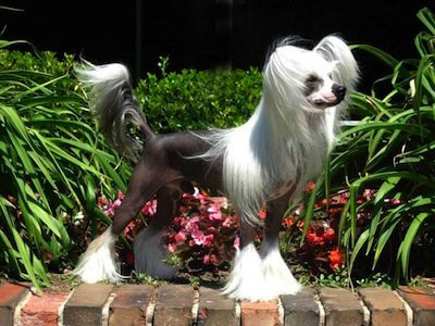 beautiful chinese crested powderpuff shaved for show