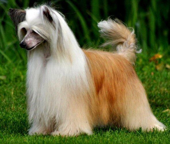 chinese crested powderpuff dog