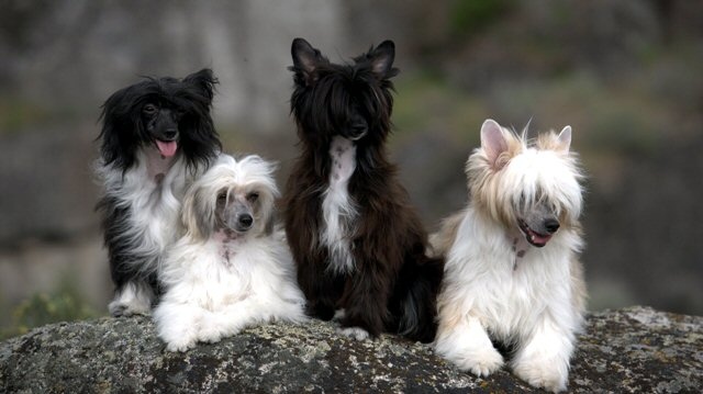 a group of powderpuff chinese crested dogs