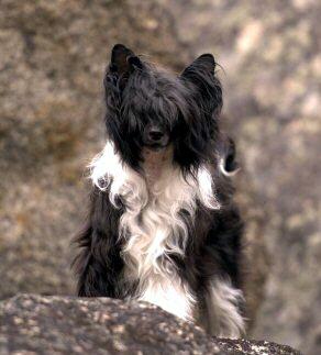 black and white chinese crested powderpuff dog