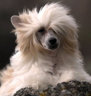 gorgeous powderpuff chinese crested