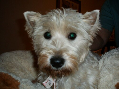 WESTIE, west highland white terrier, rescue, adoptable