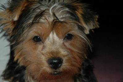 Holly, Yorkshire Terrier
