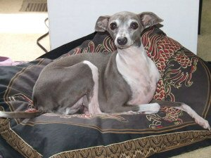 Italian Greyhound on dog bed