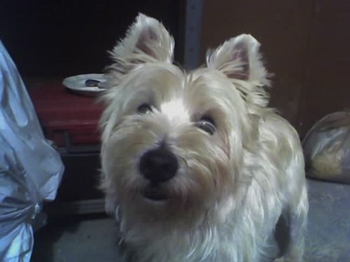 Westie, dog, rescue, adoptable