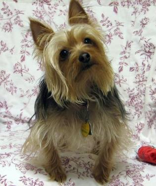 Chance, Silky Terrier