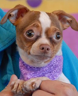 tiny chihuahua with adorable expression