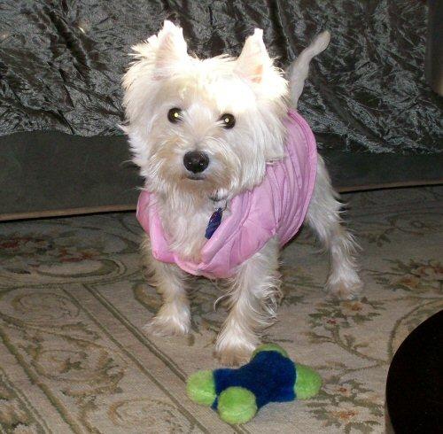 westie west higland terrier rescue adoptable