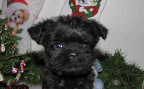 appenpinscher puppy