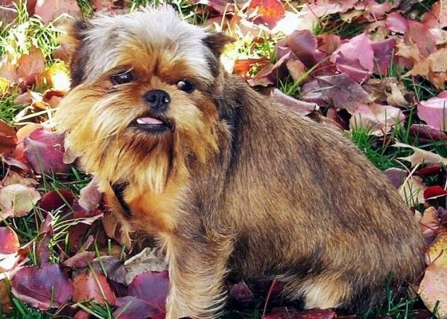 Affengriffon hybrid - mixed breed dog sitting on grass and purple leaves in Autumn. Adopt an affengriffon today!