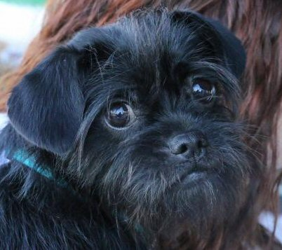 Found this cute Affenpinscher looking for a home on petfinder! Think you can't adopt a purebred dog? This adorable little gal with the sad brown eyes would 'beg' to differ.
