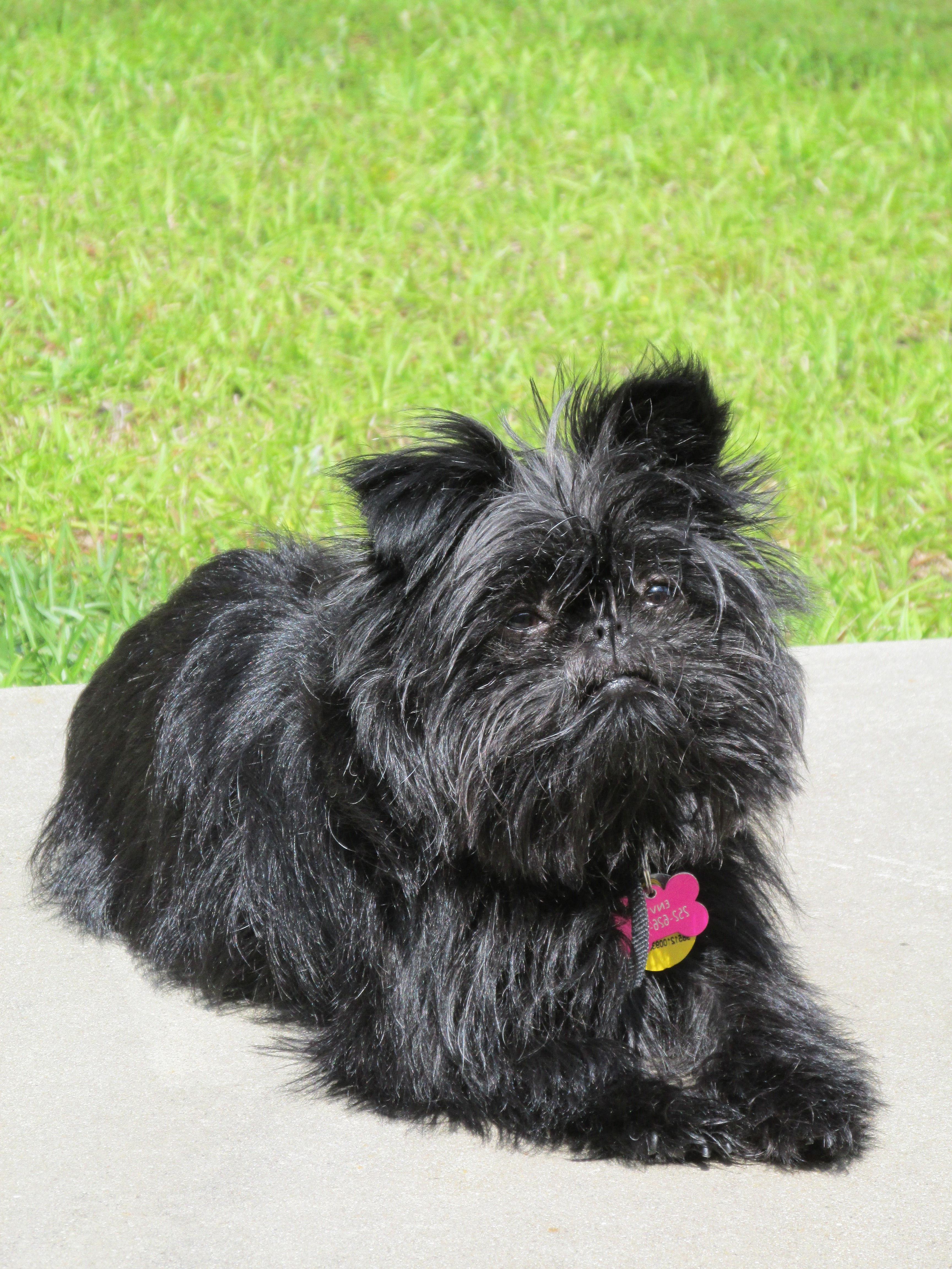 black affenpinscher monkey dog courtesy of pixabay