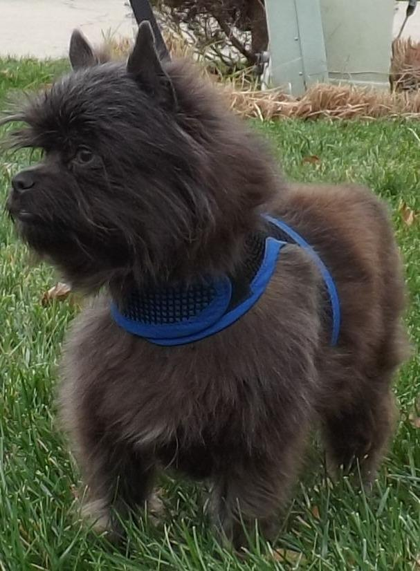 Archie is around 3 years old and weighs 9-10 pounds. He's a very affectionate Affenpinscher looking for a forever home. Check petfinder.com to find a dog like Archie who might be waiting for you!