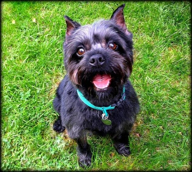 Beautiful purebred Affenpinscher girl looking happy sitting in the grass