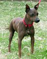 American Hairless Terrier non shedding dog