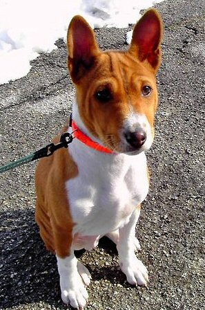 Basenji photo. dog sitting outside with leash and collar. Photo courtesy of fugzu.