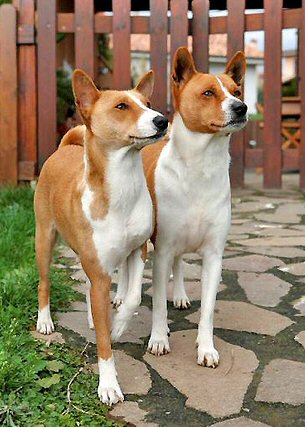 Two, Basenjis, outside, photo by: Fugzu Title=