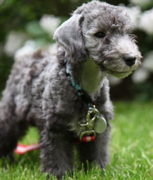 Bedlington Terrier, puppy, gray, outside, photo by: Elyssa Albert Title=