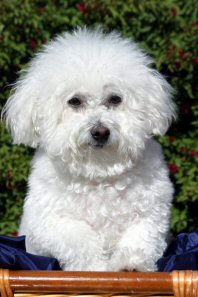 fluffy white bichon frise