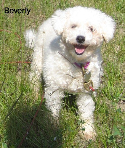 Beverly, the Bichon Frise. Adopt a dog like Beverly from a shelter near you or search petfinder.com to find other Bichons in need of rescue.