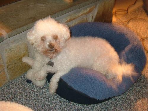 bichon frise, rescue, adoptable
