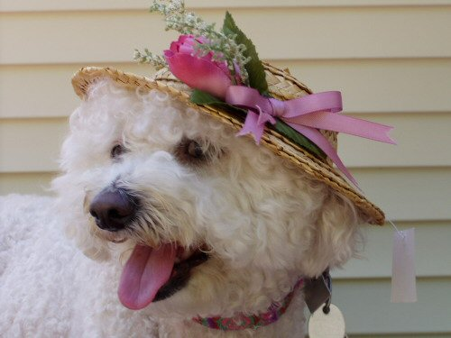 white adult bichon frise wearing a Minnie Pearl hat