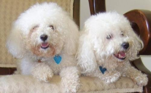 Bichon, frise, rescue, adoptable