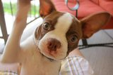 Red Boston Terrier with paw in the air