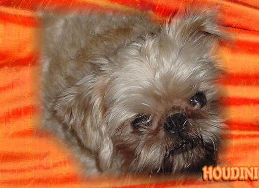 Brussels Griffon dog looking up