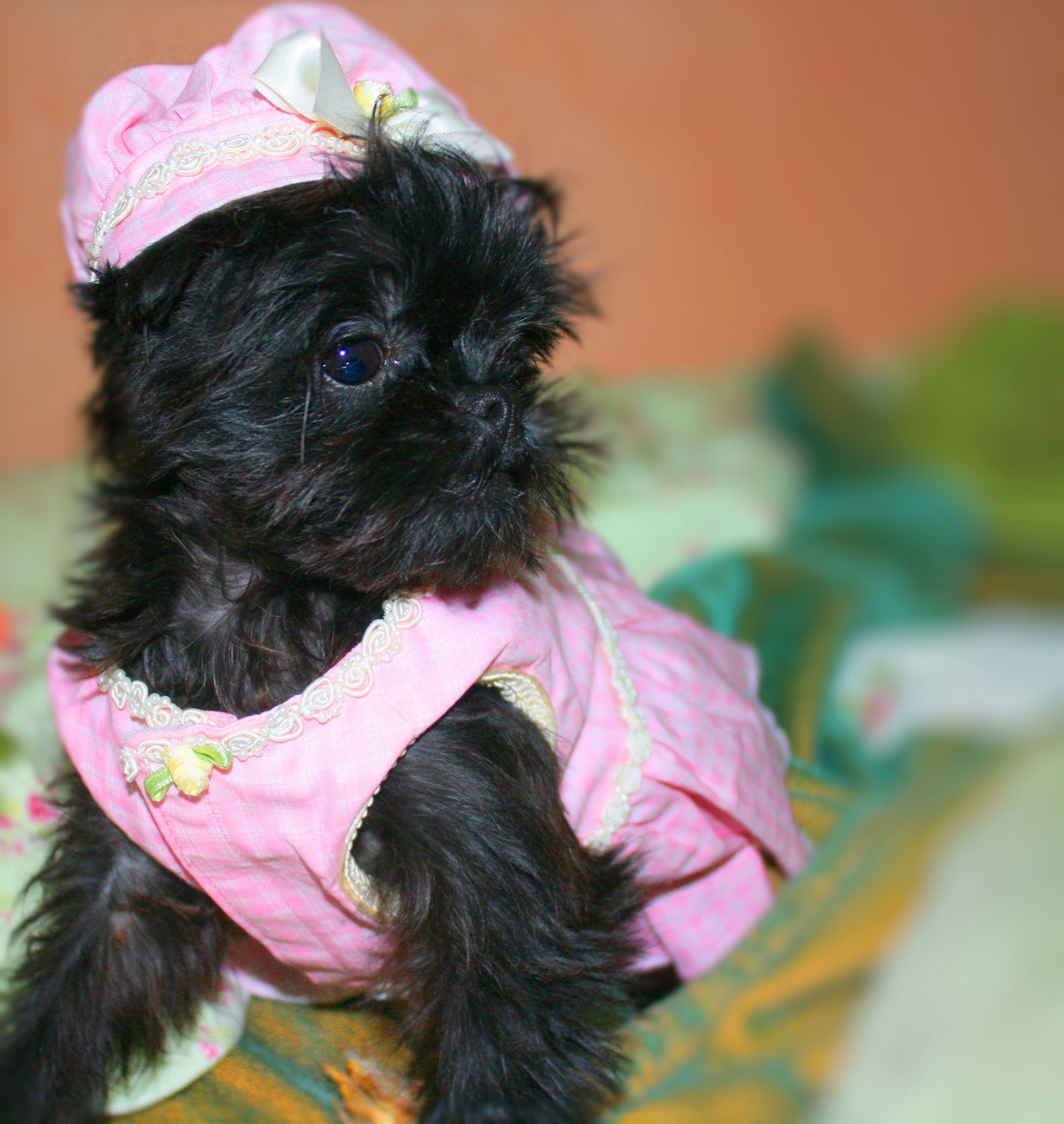 Cute black Brussels Griffon puppy wearing a pink hat and dress