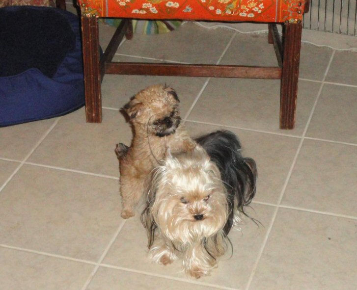 Griffon puppy playing with a long haired adult yorkie