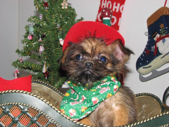Brussels Griffon puppy with Christmas tree and green bandana
