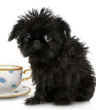 teacup puppy affenpinscher brussels griffon