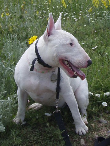 Happy Bull Terrier sitting in grass. A great photo by Robert Tadlock on Flickr.