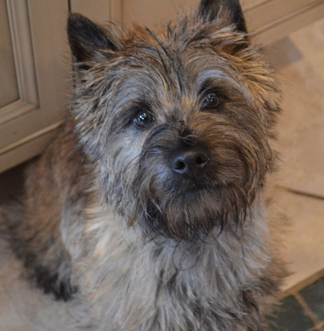 Cute Cairn Terrier looking up. Photo by Laura K on flickr!