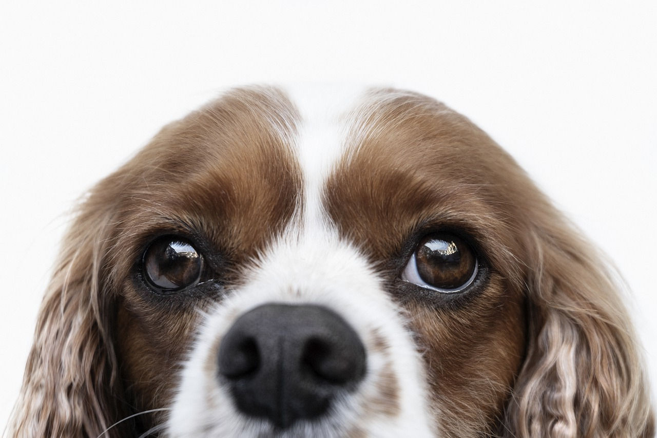 cavalier king charles spaniel looking over with big soft brown eyes